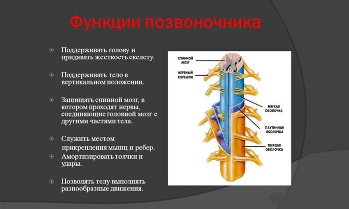 Как ребра прикрепляются к позвоночнику