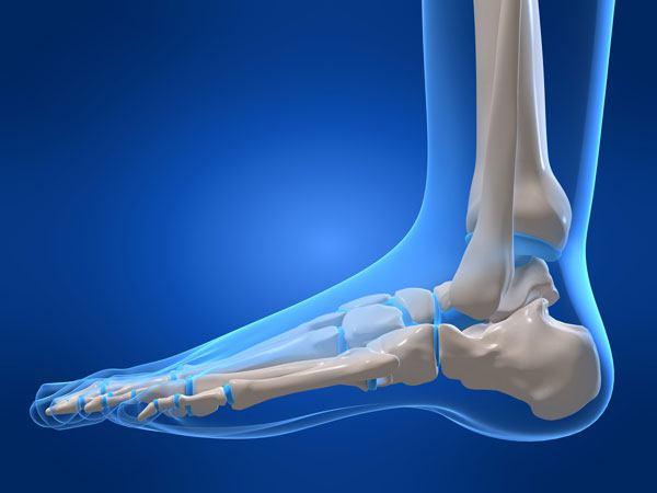 Голеностопный сустав и связки анатомия строение функции