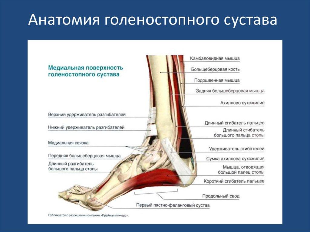 Голеностопный сустав анатомия строение и функции