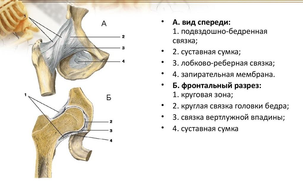Изображение - Строение мышц тазобедренного сустава Svyazki